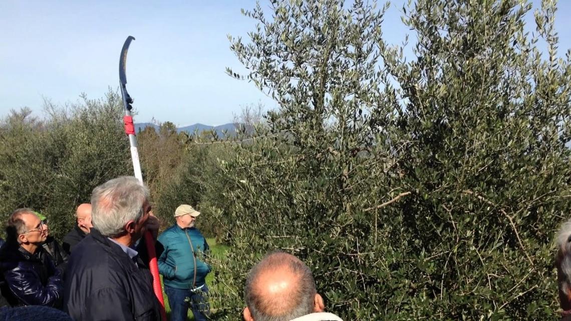 Gestire la chioma dell'olivo con i cambiamenti climatici ma conti alla mano