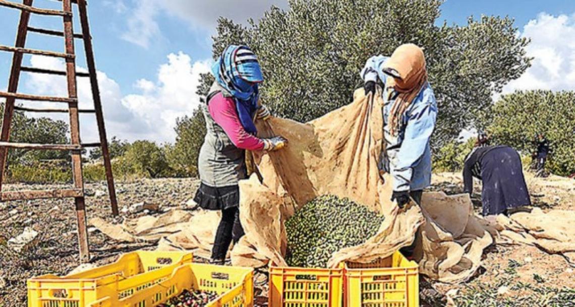 Boom dell'export dell'olio d'oliva tunisino, nonostante la cattiva annata