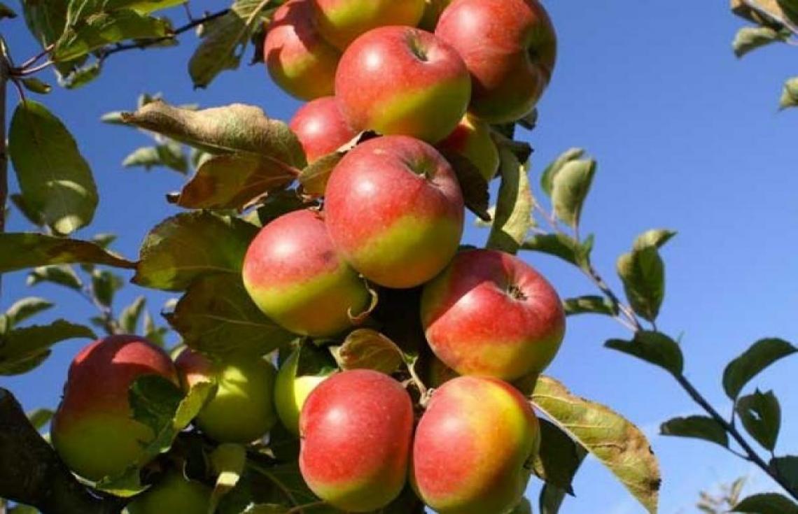La Mela Rosa dei Monti Sibillini, gusto e salute certificate dalla scienza