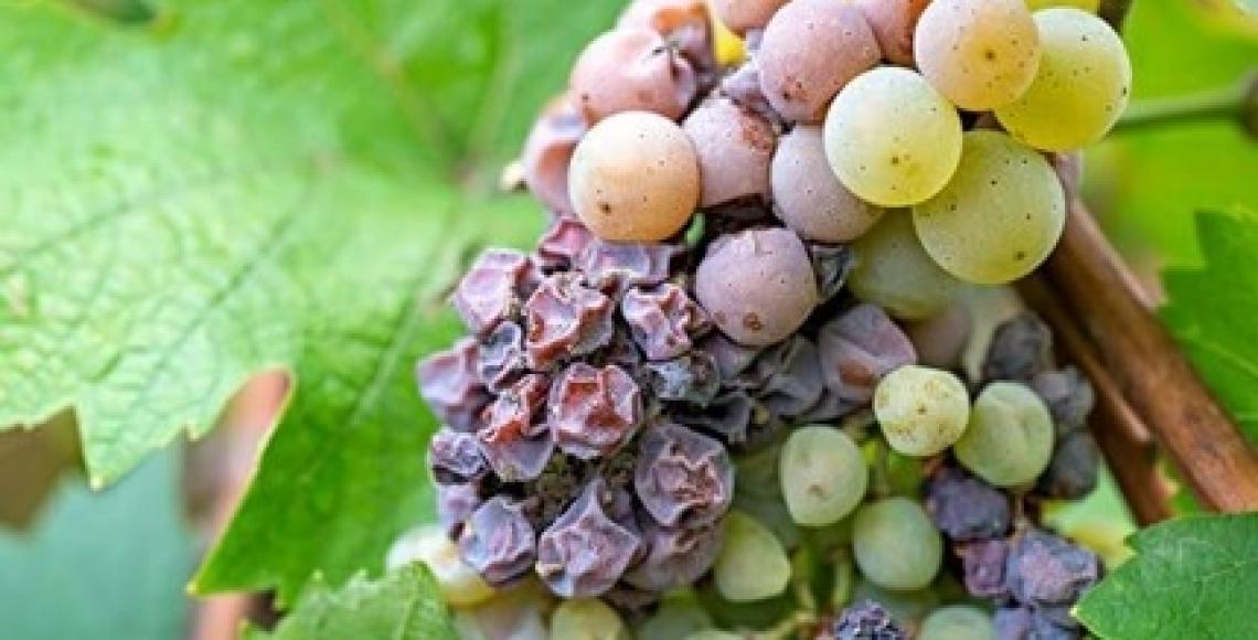 E' sufficiente il 10% del grappolo colpito da Botrytis cinerea per rovinare una vendemmia