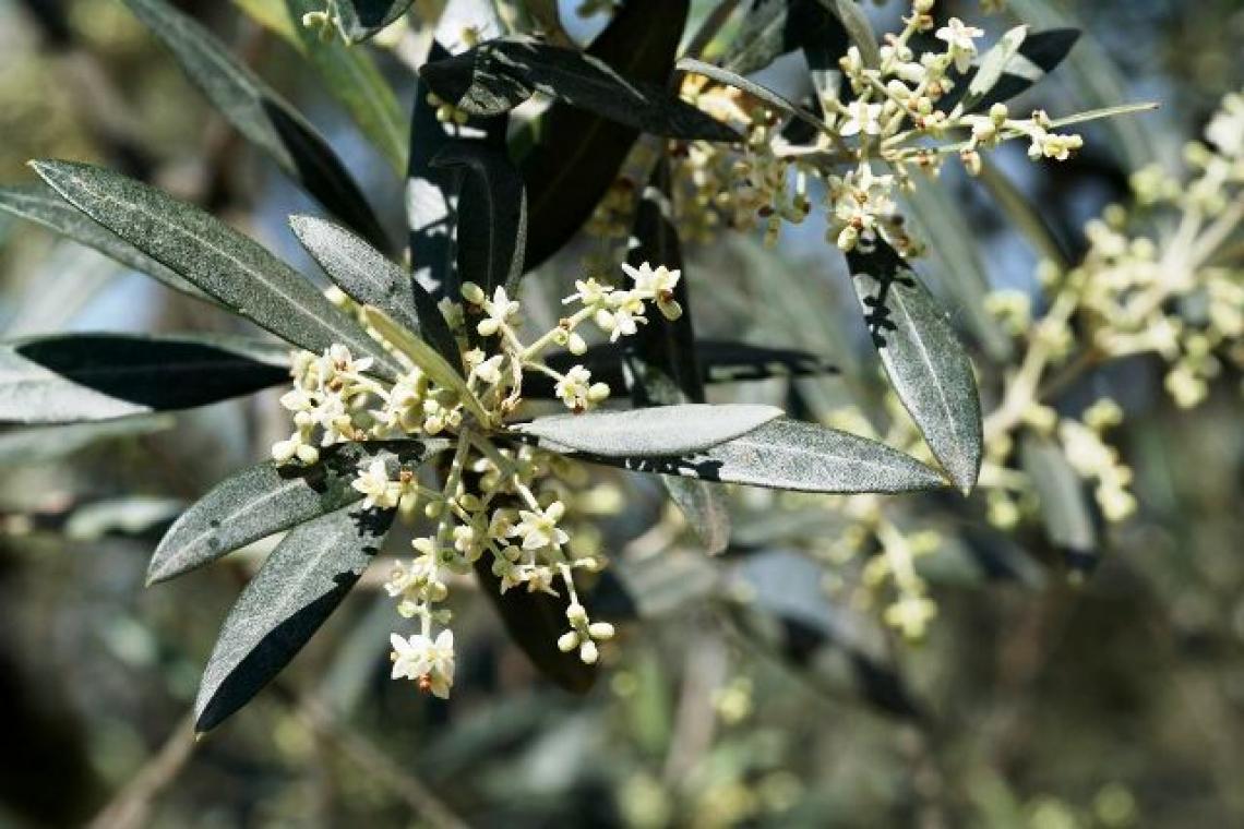 Il fondamentale ruolo della luce nella fioritura dell'olivo