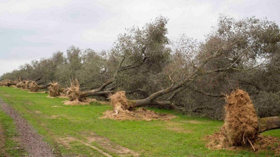 A causa di Xylella perso il 10% dell'olio d'oliva italiano