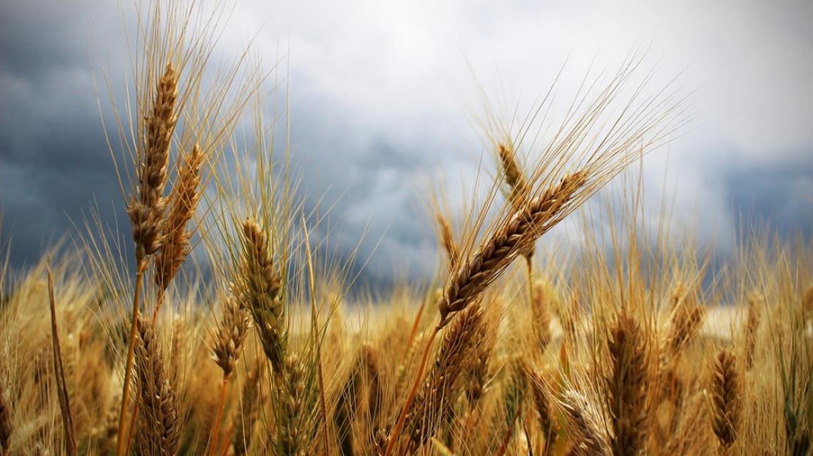 E' crisi per il grano duro italiano, cresce il frumento tenero. Boom del biogico