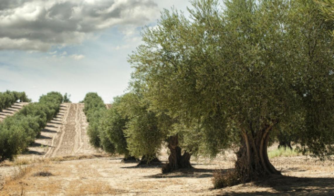 L'oliveto europeo è vecchio e tradizionale