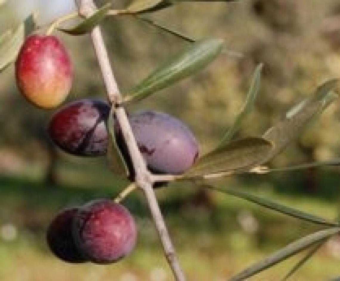 Coratina, Leccino e Frantoio in Spagna e Tunisia, le varietà italiane all'estero