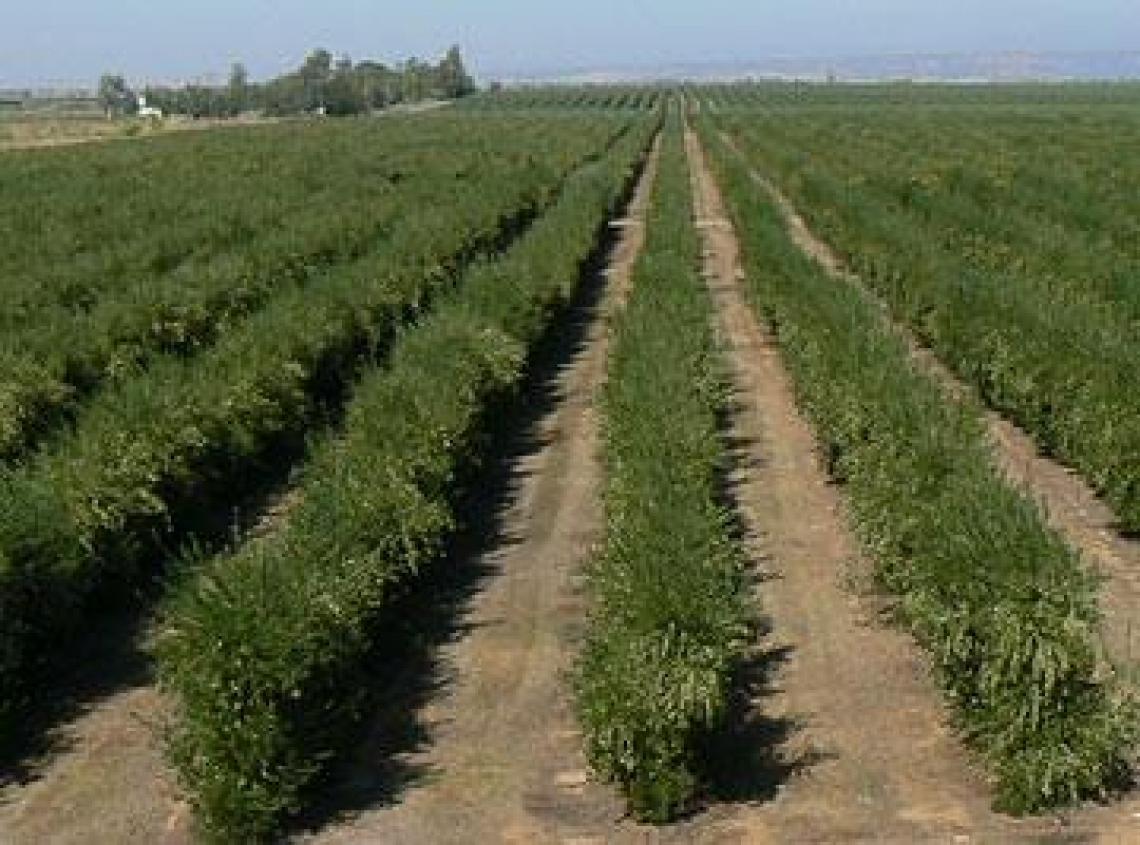 I rischi dell'oliveto superintensivo sull'ambiente: la salinizzazione dei suoli