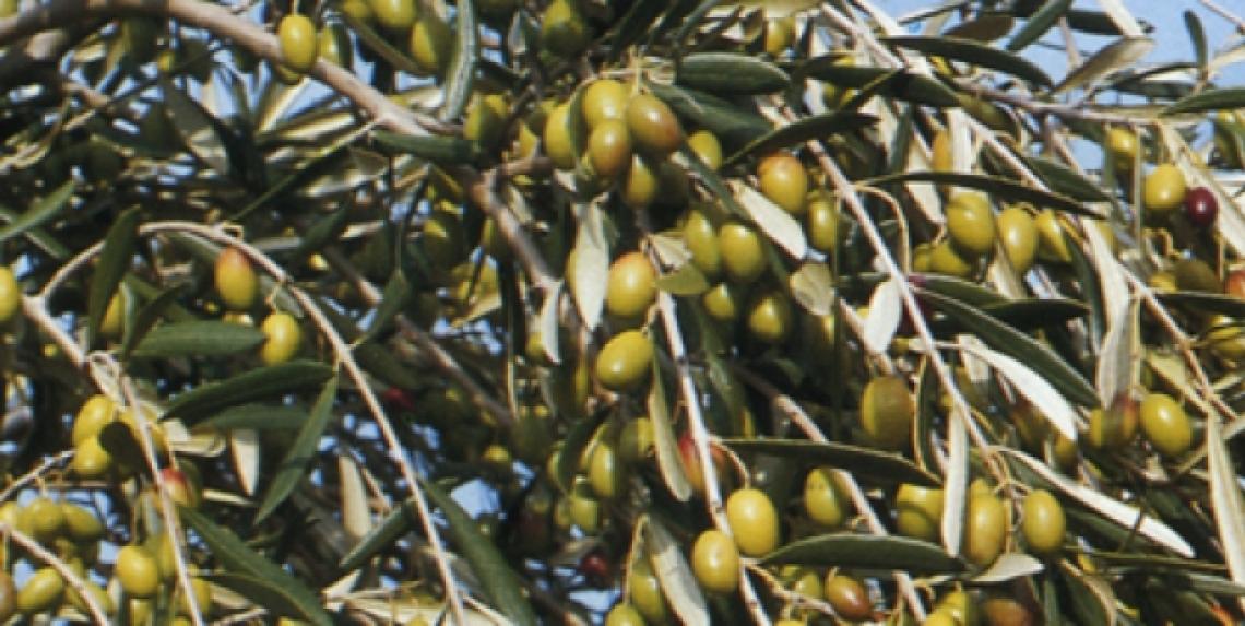 Come ridurre l'alternanza di produzione dell'olivo