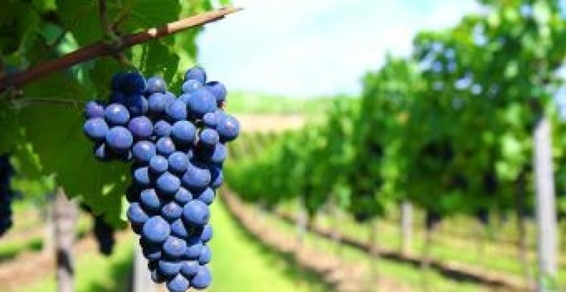 Contenuto di flavonoli nel sangiovese e rischio intorbidimento del vino