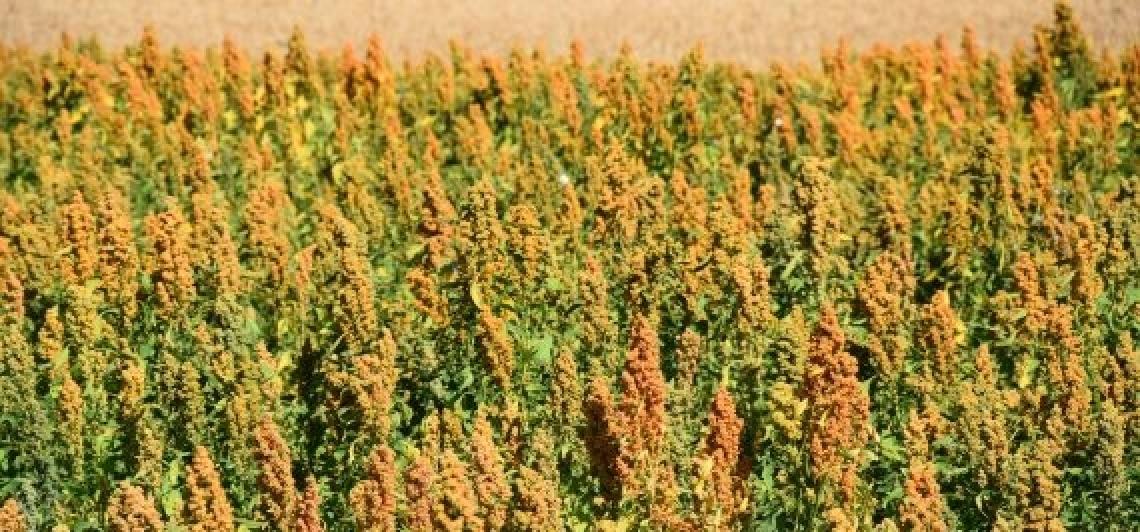 Quipu, la prima varietà di quinoa italiana pronta per il mercato