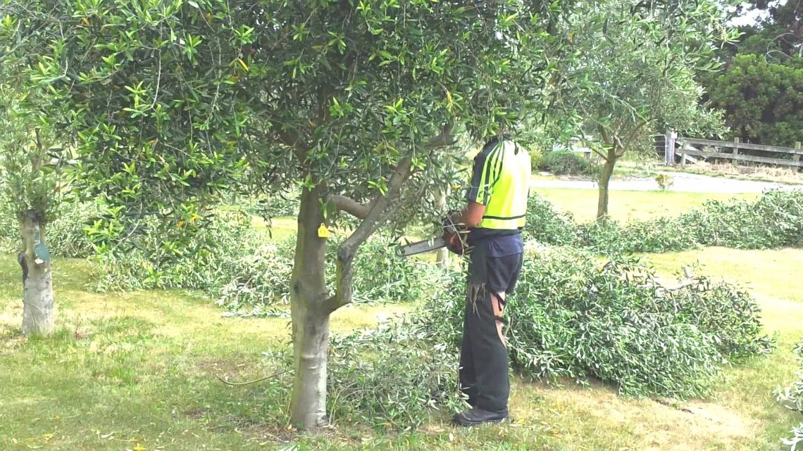 Bassa produttività garantita con la potatura tradizionale dell'olivo