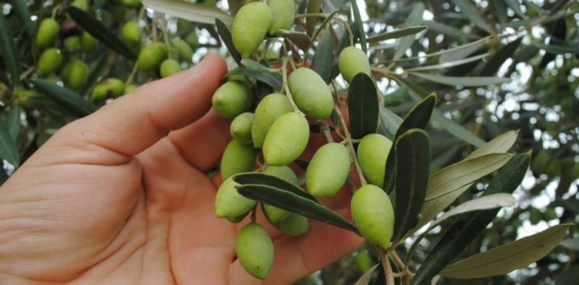 Una nuova politica agricola per l'olivicoltura italiana