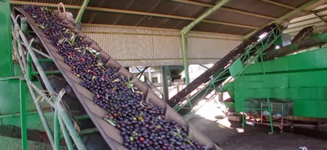 Boom produttivo d'olio d'oliva in Andalusia e Castiglia-La Mancia