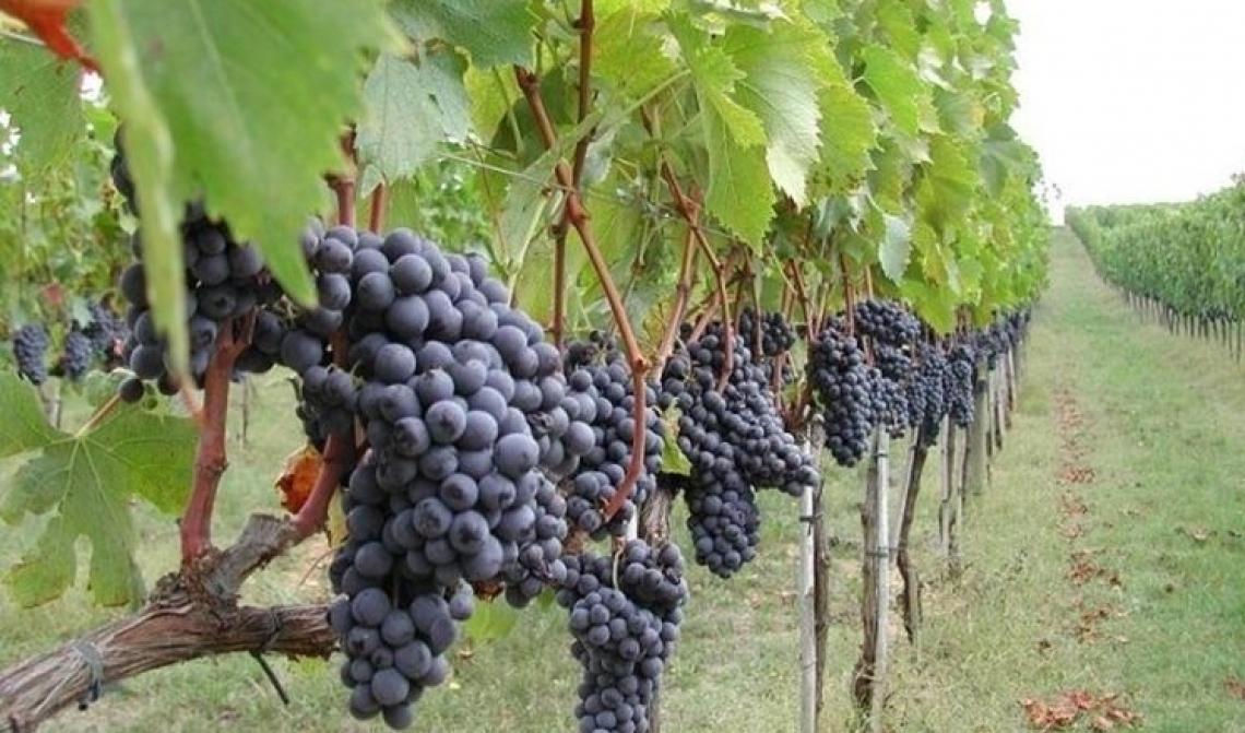 Un confronto tra quattro diverse pratiche di potatura della vite su maturazione e qualità del vino