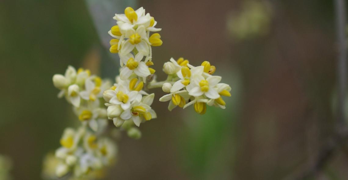 Acqua e azoto determinano la qualità della fioritura dell'olivo