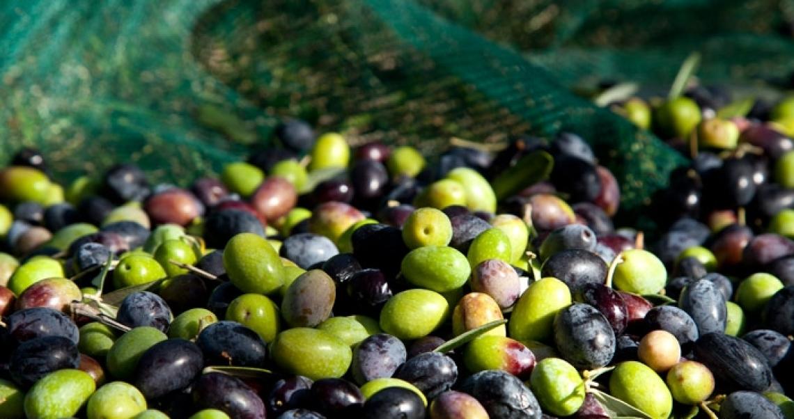 Ora Di Maio prende le redini della crisi olivicola nazionale