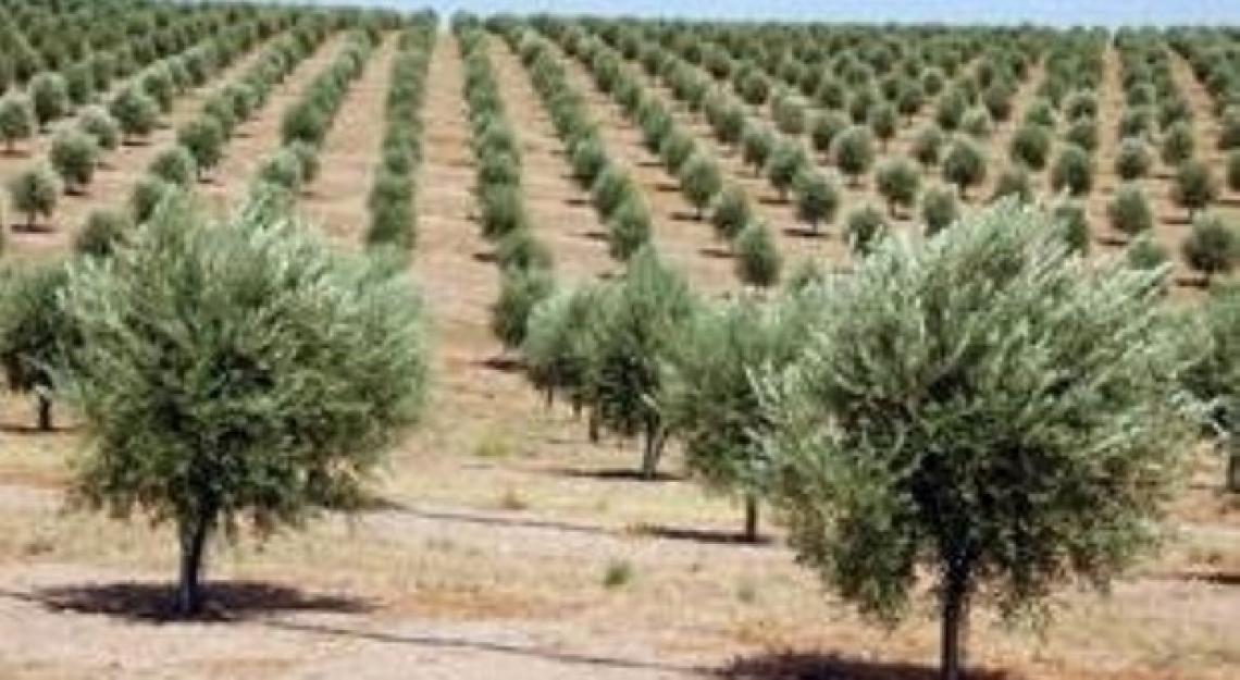 Semplificazione contro ipercomplessità, il lavoro di olivicoltore oltre gli stereotipi