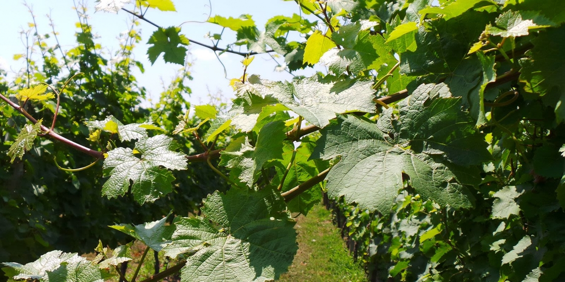 Viticoltura sostenibile e biodiversità microbica per il futuro del vino italiano