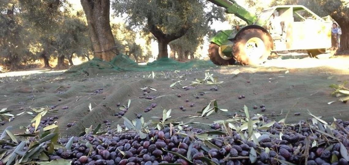 La Puglia olivicola chiede il rispetto degli impegni presi e garanzie precise