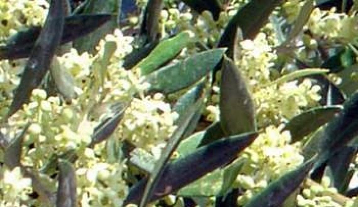 Un drone per impollinare l'olivo, aumentando l'allegagione