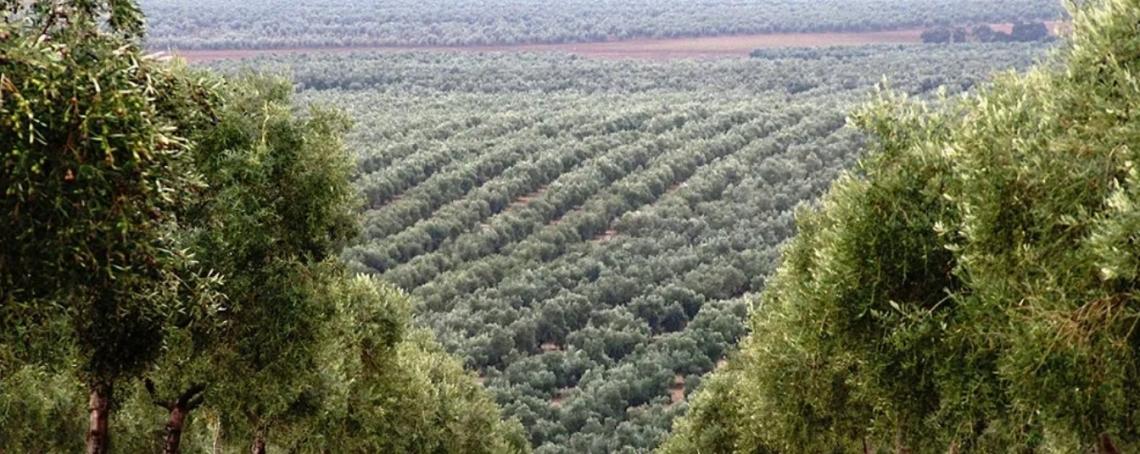 Vantaggi e svantaggi degli oliveti intensivi e superintensivi