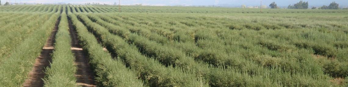 Solo un mito i 100 quintali ad ettaro di olive per il superintensivo internazionale