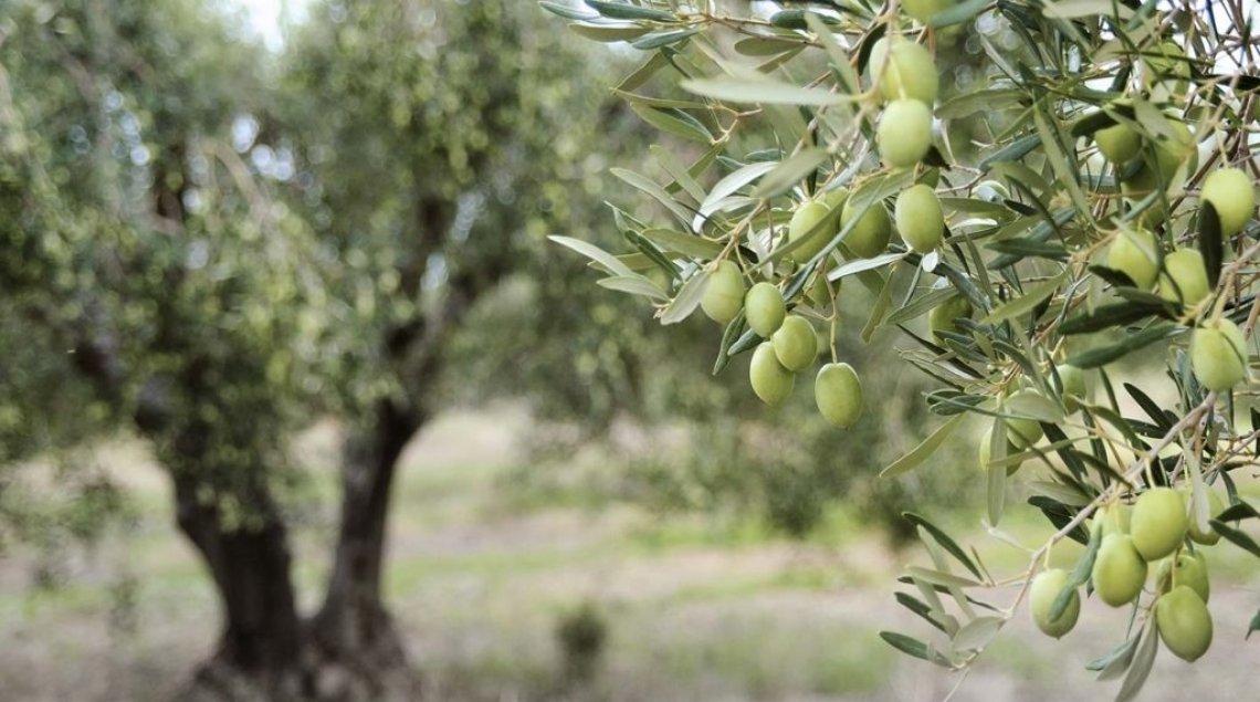 L'Unesco proclama la Giornata internazionale dell'olivo