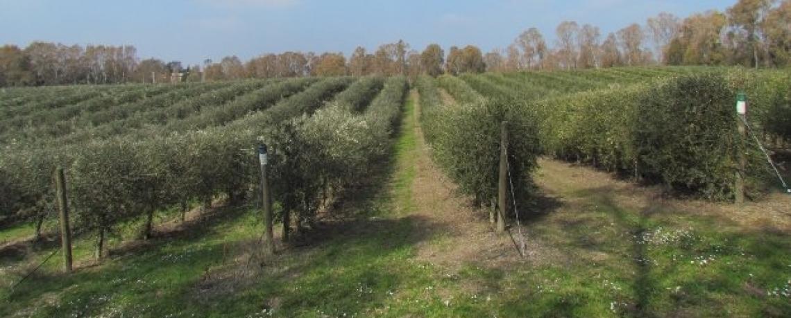 Non solo glifosato, l'impatto ambientale del diserbo degli oliveti