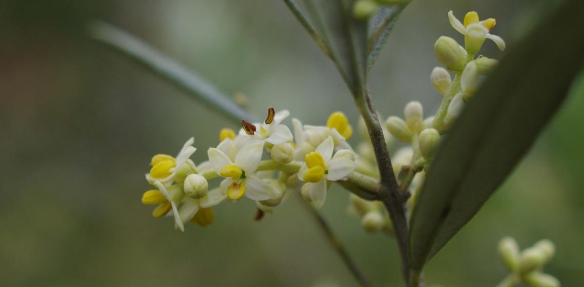 Il punto debole dell'olivo è in fioritura, ma la produttività può essere raddoppiata