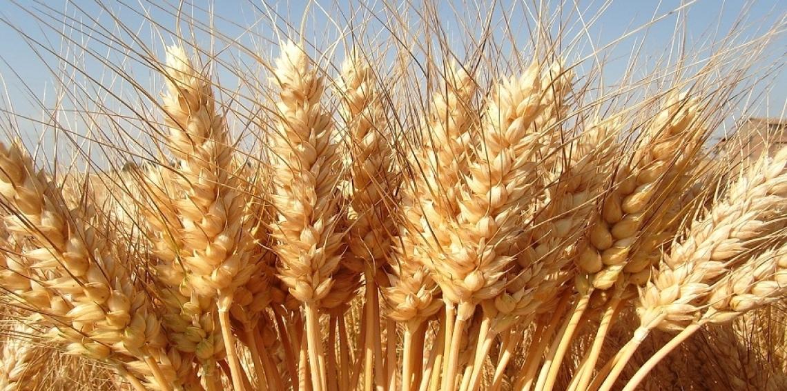 Non conviene più coltivare grano duro