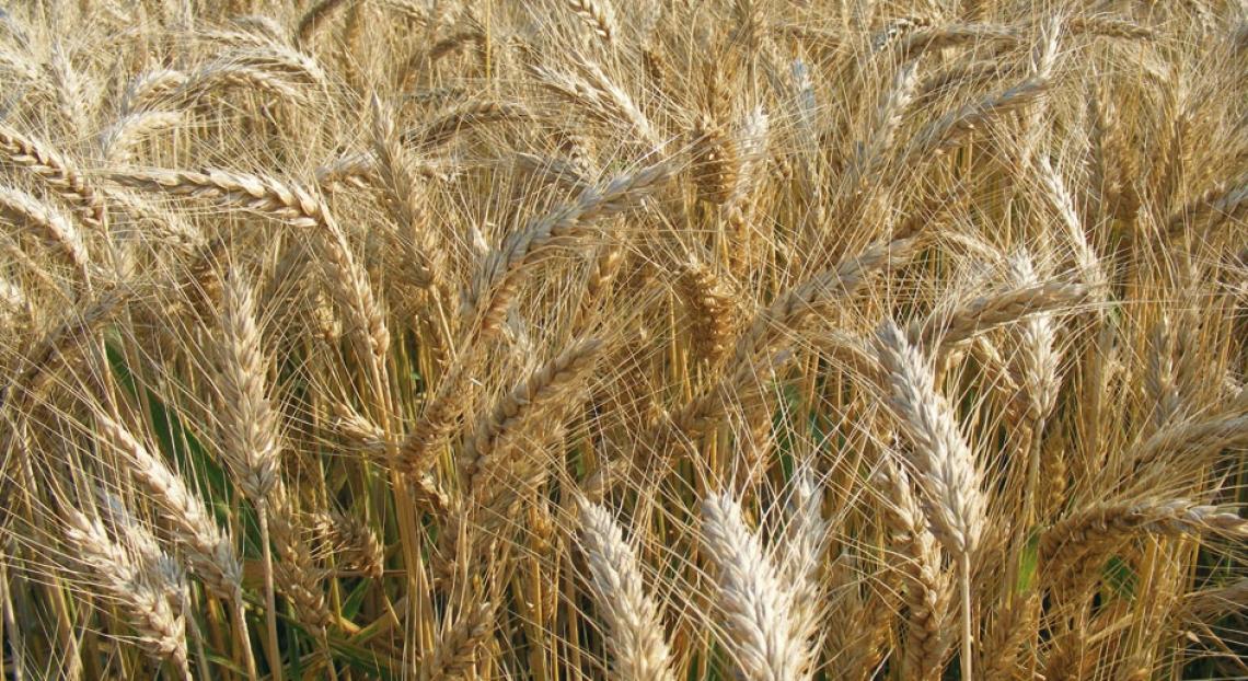 La storia del grano tenero viene raccontata dal suo DNA