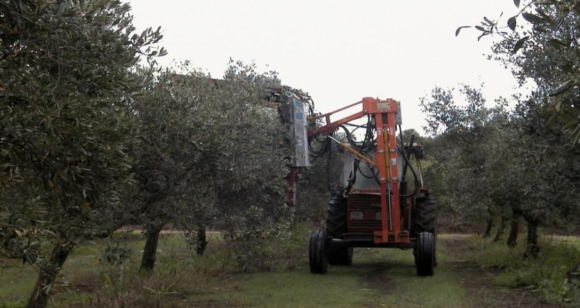 La potatura meccanica negli oliveti tradizionali è possibile per otto anni consecutivi