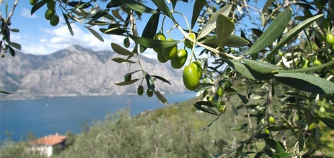 L'olio extravergine di oliva dell'Alto Garda Trentino innova e si rinnova