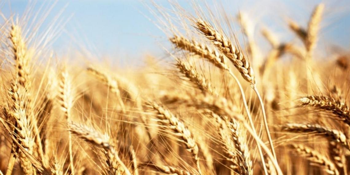 In calo la produzione mondiale di grano duro
