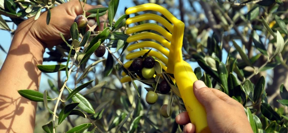 La formazione sull'olio d'oliva non può essere lasciata a un bicchierino di plastica