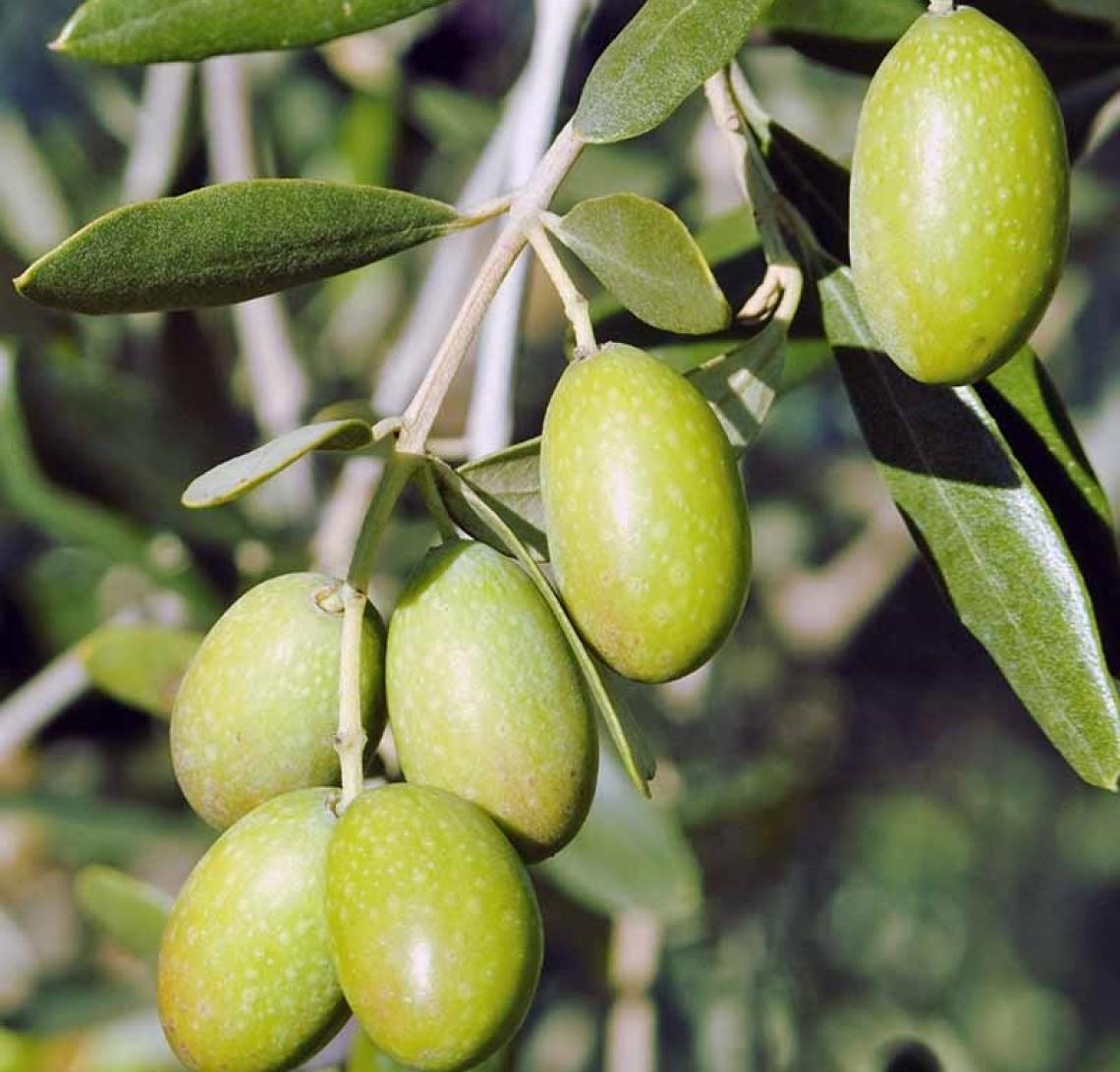 Un trattamento all'indurimento del nocciolo per ridurre l'alternanza di produzione dell'olivo