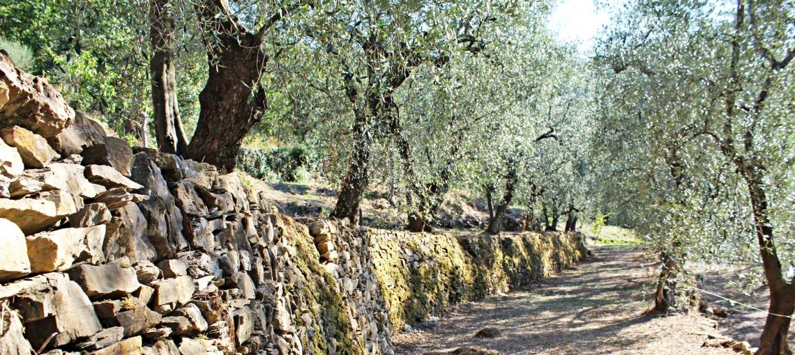 Il mondo olivicolo ligure apre le porte accogliendo gli appassionati