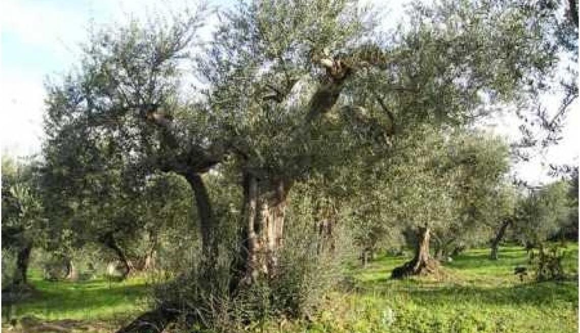 A rischio abbandono 500 mila ettari di olivicoltura spagnola