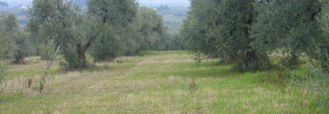 Una gestione sostenibile del suolo può migliorare la resistenza dell'olivo alle malattie