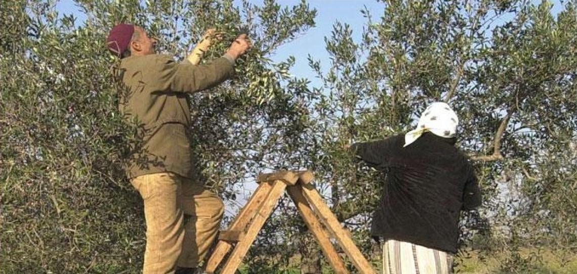 La Tunisia vuole prendersi la leadership nella produzione d'olio di oliva biologico