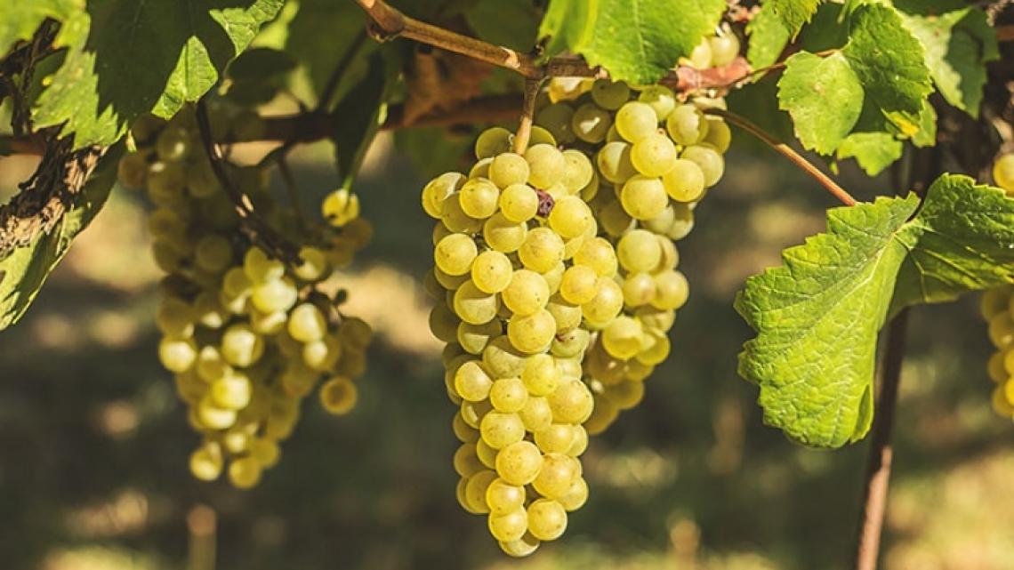 La sostanza organica può aumentare la produttività dello Chardonnay