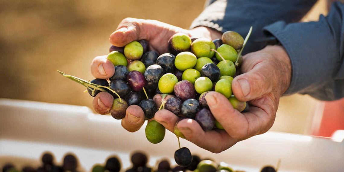 L'altitudine influisce sulla qualità dell'olio extra vergine d'oliva