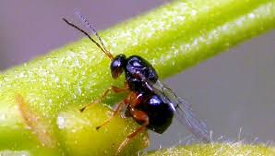 Specie aliene invasive, un problema globale che danneggia l'agricoltura