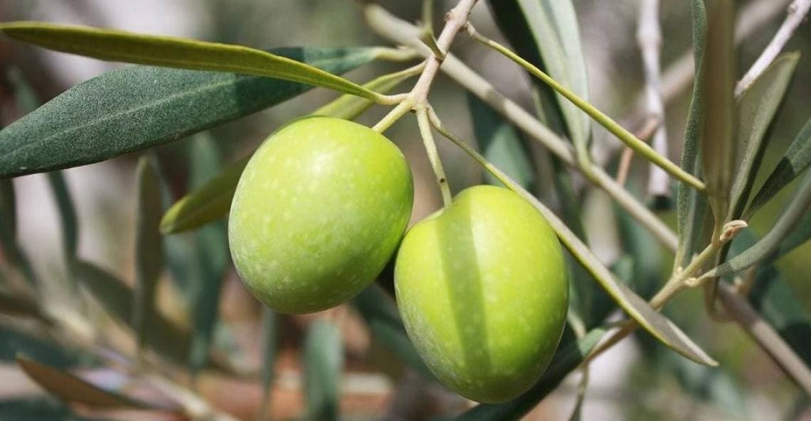 L'olivicoltura biologica ha un futuro e un potenziale di sviluppo?