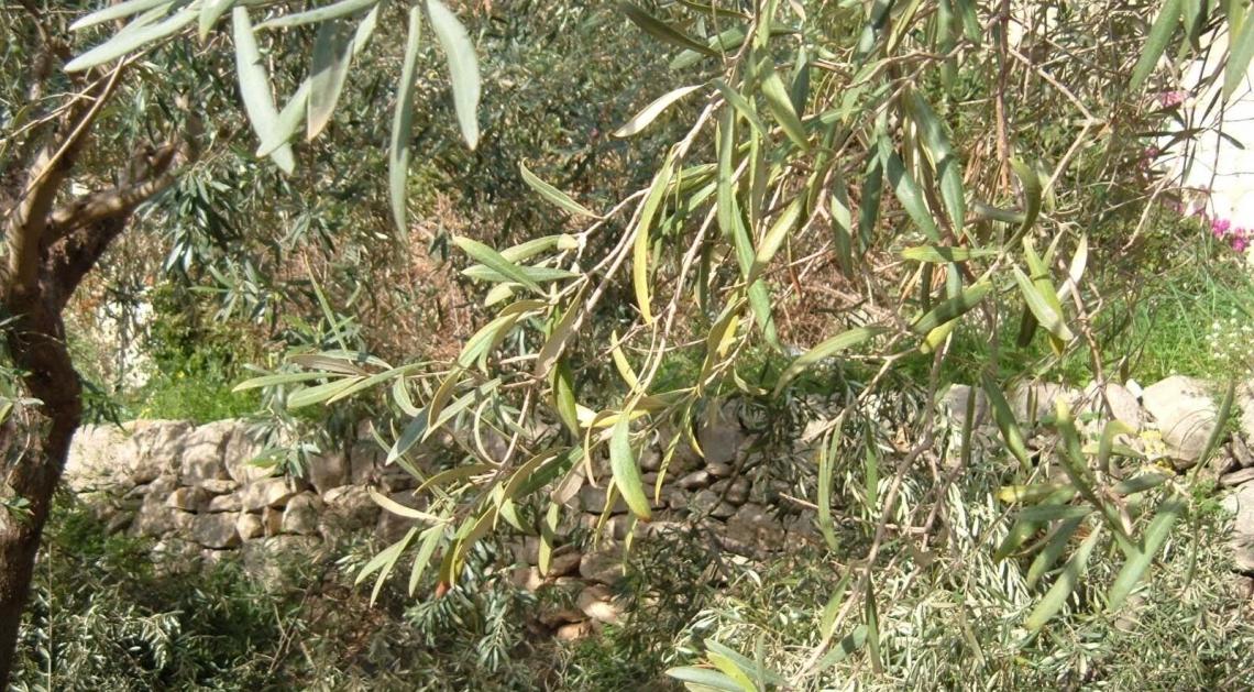 I colpi di calore sull'olivo hanno un impatto devastante sul trasporto del potassio