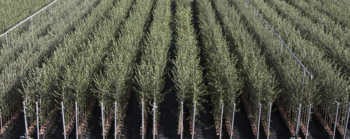 Frantoio Millennio e Leccino Millennio, due varietà di olivo brevettate dall'Università di Pisa