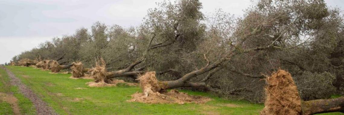 Stanziati i primi 30 milioni di euro per i reimpianti di olivi nel Salento