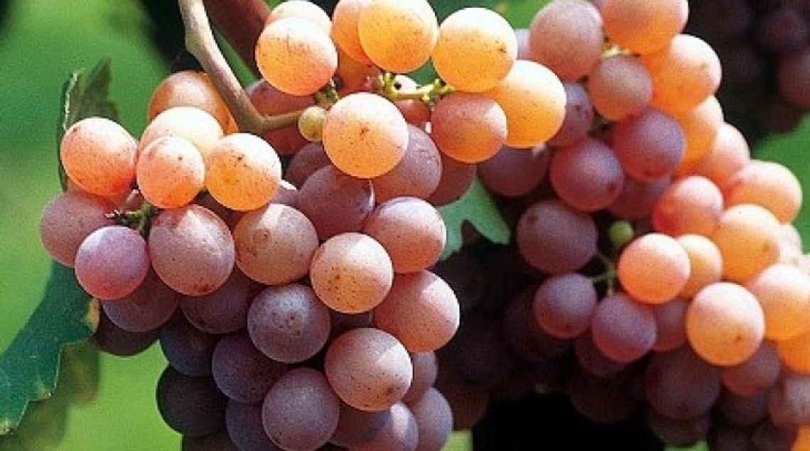 L'albero genealogico dei vini francesi scoperto grazie al DNA