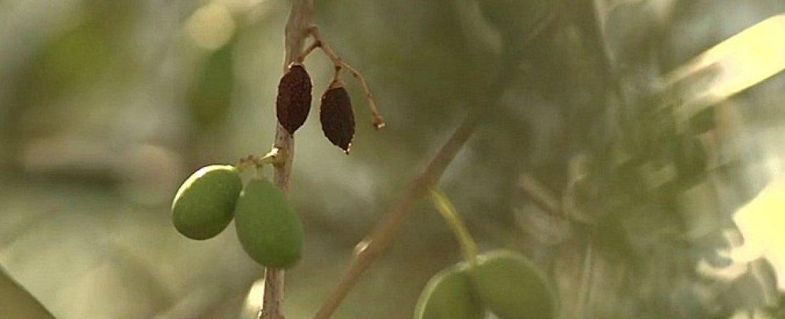 Nuove strategie di difesa dalla siccità in olivicoltura