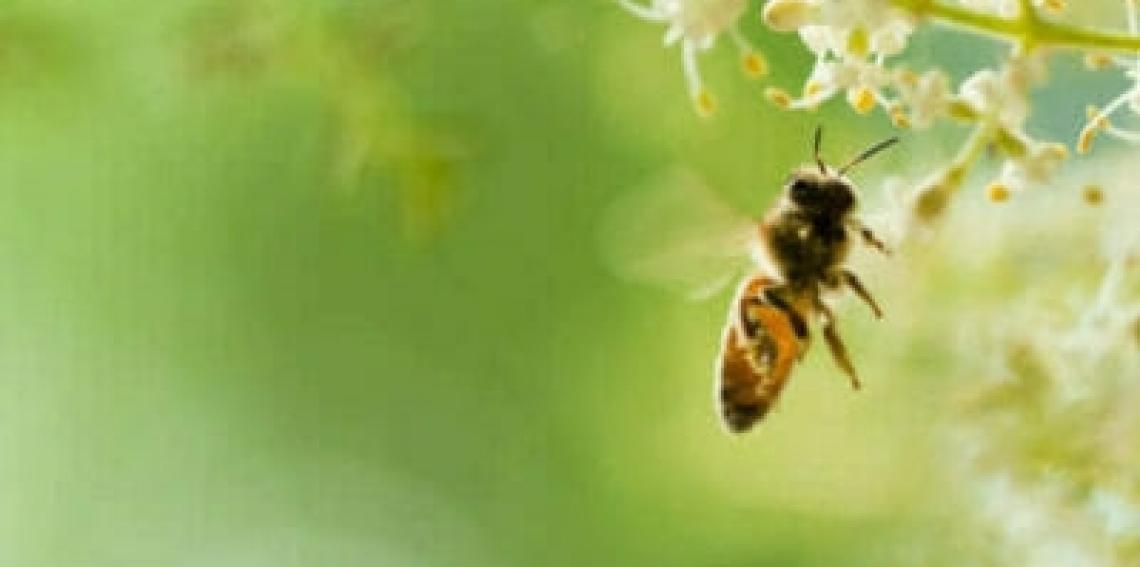 Costruire un oliveto a misura di api