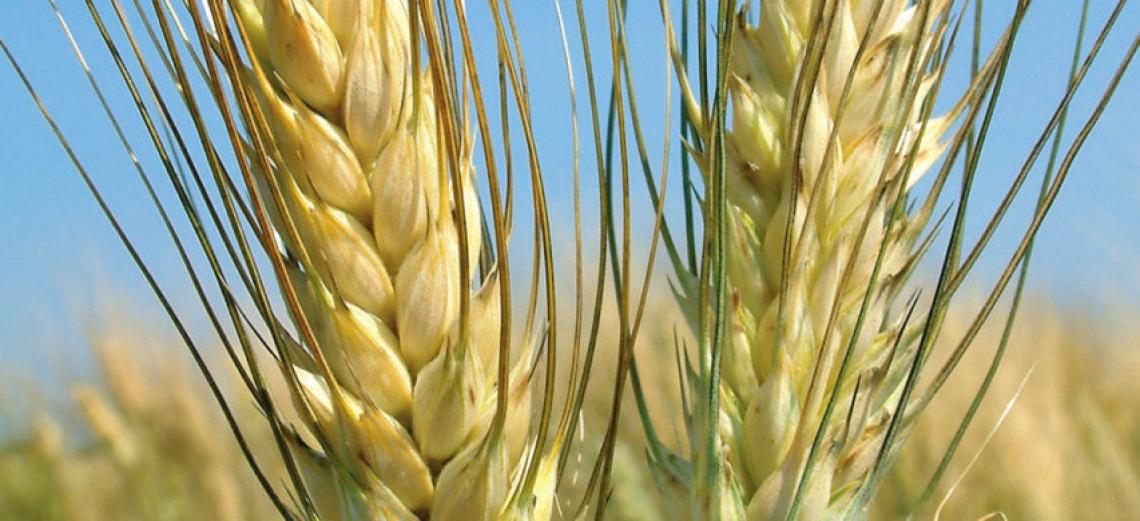 Le nuove opportunità per il grano duro dopo il sequenziamento del DNA